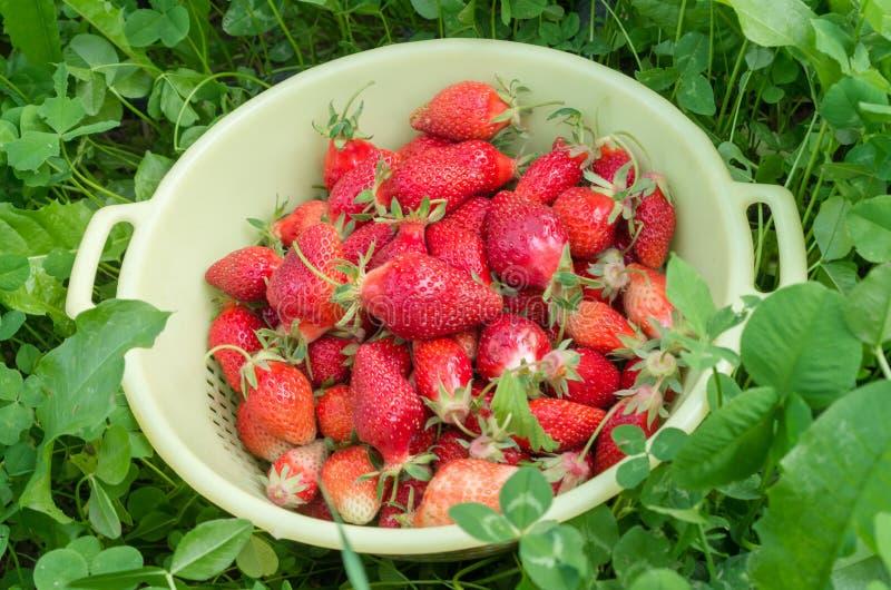 Fraises rouges dans une cuvette jaune A fra?chement s?lectionn? les fraises organiques du jardin Fond vert de tr?fle normal photographie stock