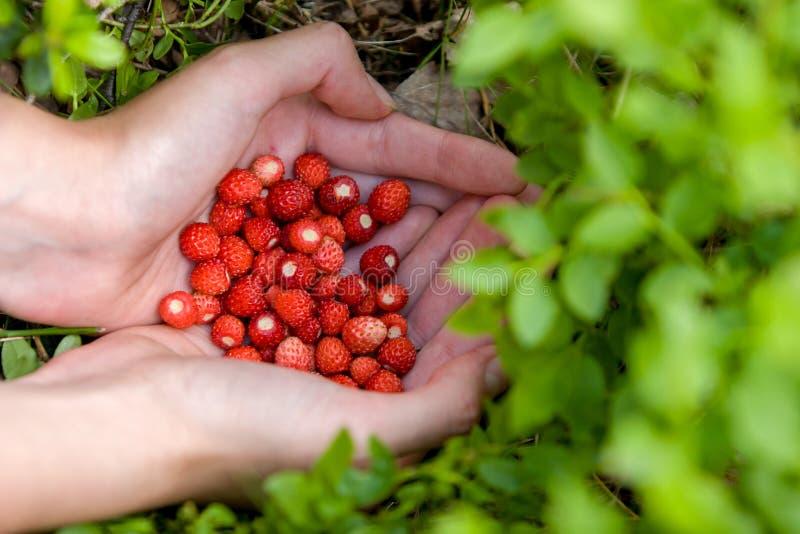 Fraises rouges mûres délicieuses dans les mains évasées photographie stock