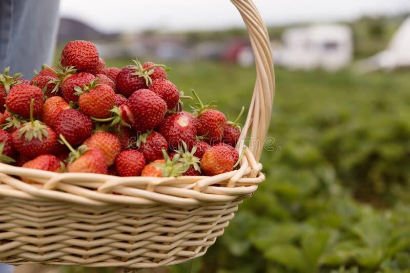 Fraises sélectionnées fraîches dans un panier sur la plantation de fraise photo stock