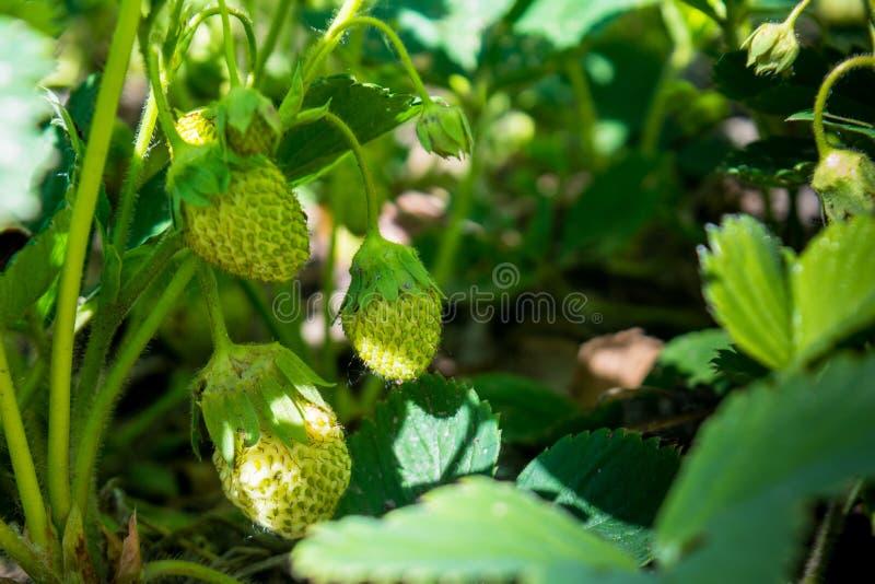 Fraises verdoyantes minuscules vertes chantant dans le jardin photographie stock libre de droits