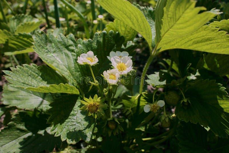Fraisier au sol Plusieurs fleurs de fraise sur la tige images stock