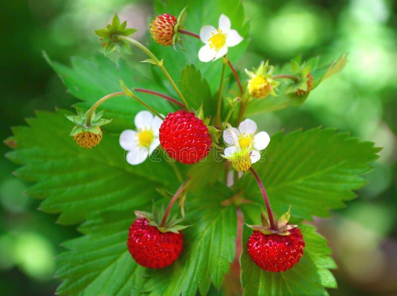 Fraisier commun avec des baies et des fleurs image libre de droits