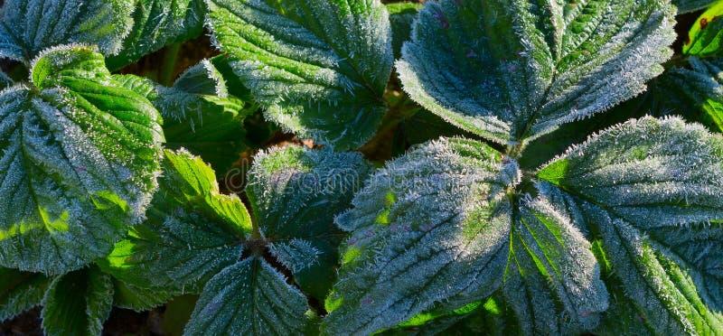 Fraisier congelé dans un jardin, après une nuit d'hiver de gel photo stock
