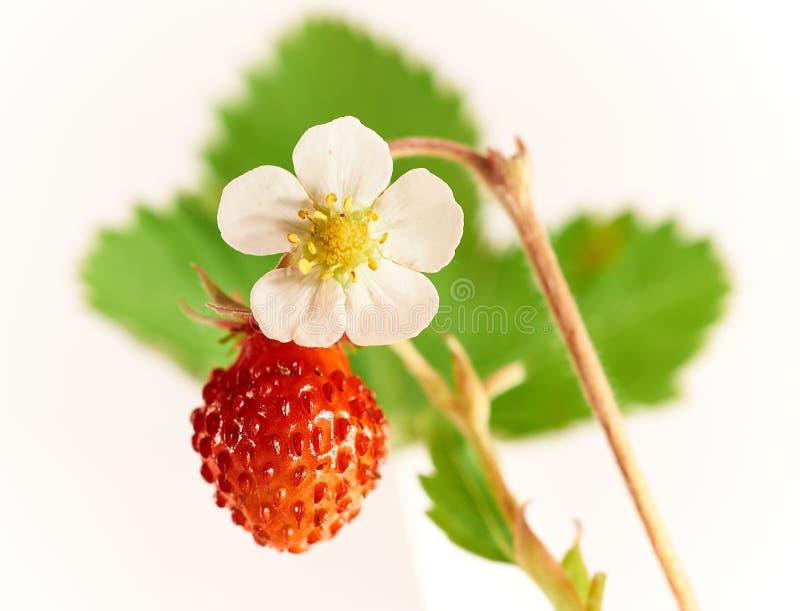 Fraisiers communs de fruit frais et de fleur sur un fond vert de feuille photo libre de droits