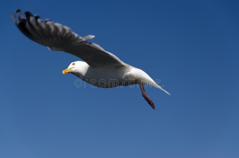 Download Frajer zdjęcie stock. Obraz złożonej z seabird, frajer - 42525306