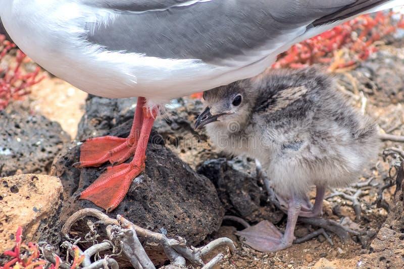 Frajer z swój kurczątkiem na Isla placu Sura, Galapagos, zdjęcia stock