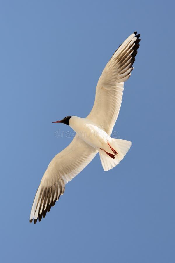 Frajera nieba wolności lota błękitny ptak posyła przekątnę zdjęcie stock