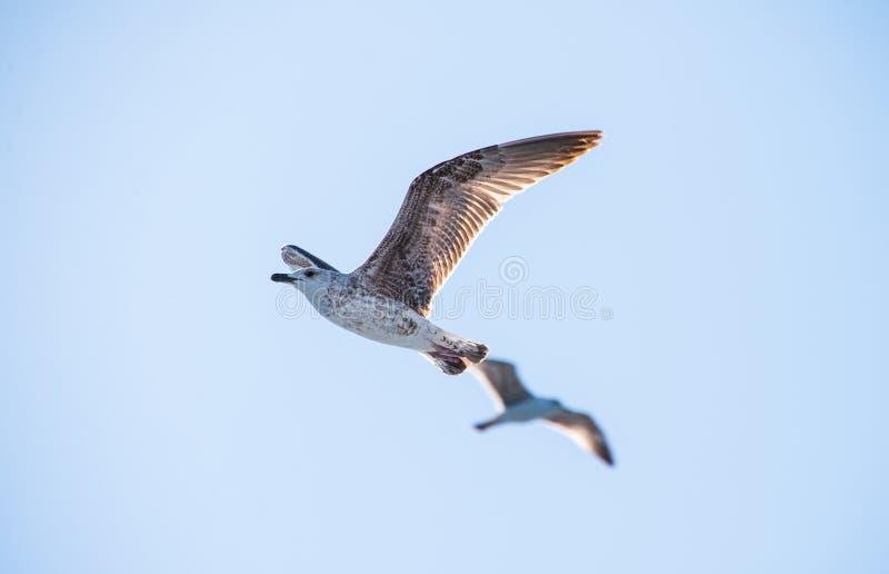 Frajery lub Seagulls w niebie zdjęcia royalty free