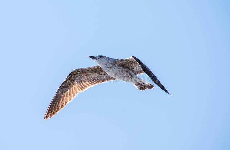 Frajery lub Seagulls w niebie fotografia royalty free