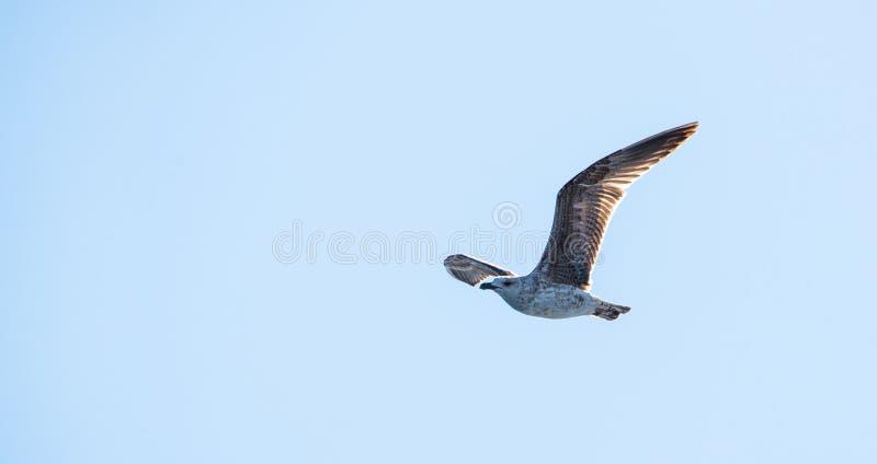 Frajery lub Seagulls w niebie obrazy stock