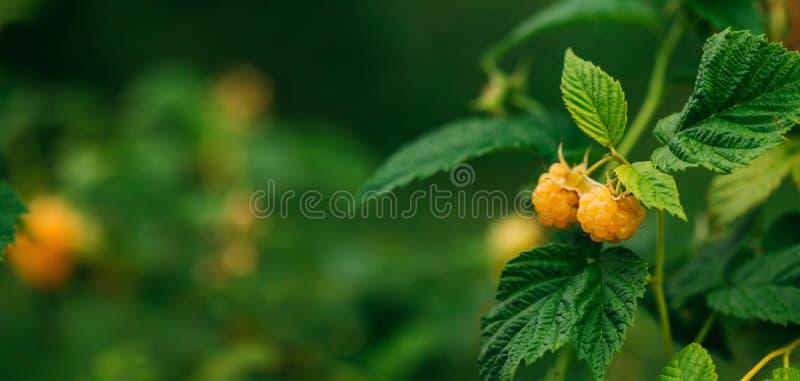 Framboesas amarelas ou douradas Close up orgânico crescente das bagas Framboesa madura no jardim do fruto imagens de stock