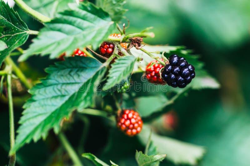 Framboesas e amoras-pretas que crescem nas folhas de um fundo do arbusto fotos de stock