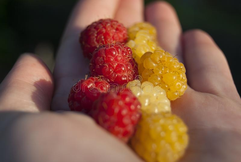 Framboesas maduras vermelhas e amarelas fotos de stock royalty free