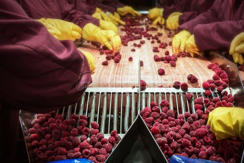 Framboesas vermelhas congeladas em máquinas da classificação e de processamento imagens de stock royalty free