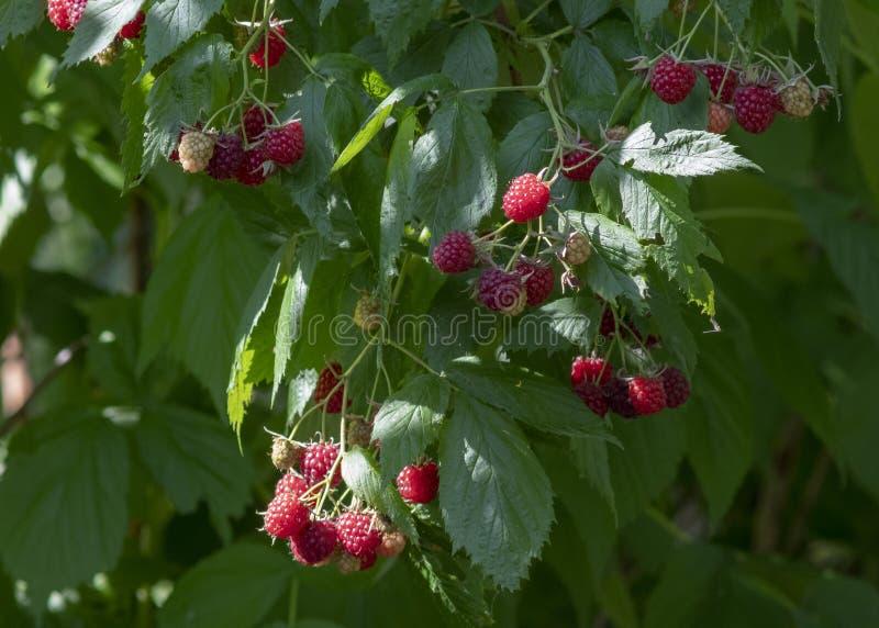 Framboesas vermelhas deliciosas foto de stock