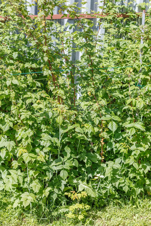 Download Framboise image stock. Image du jardin, accroissement - 56477503