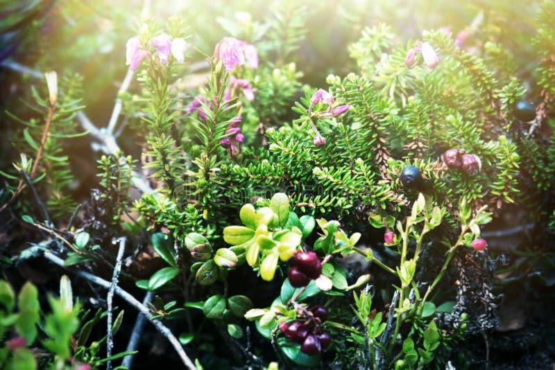 Framboise (Empetrum nigrum) photo stock