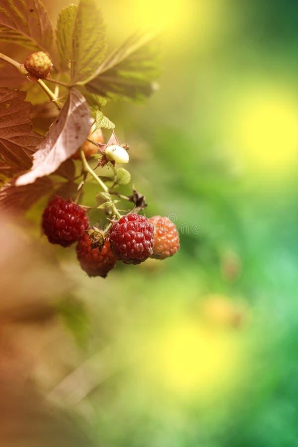 Framboise mûre sur la branche dans le jardin Framboisier frais Baies rouges juteuses Nourriture délicieuse et saine image libre de droits