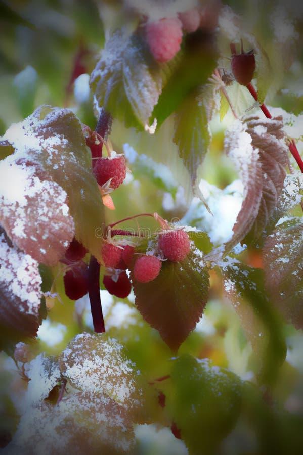 Framboises dans la neige en septembre photos libres de droits