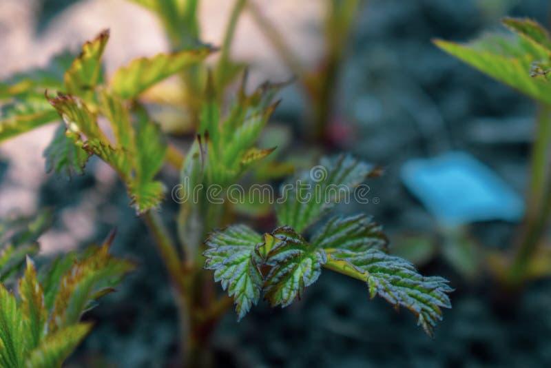Frambozeninstallatie die in de lente beginnen te groeien stock fotografie