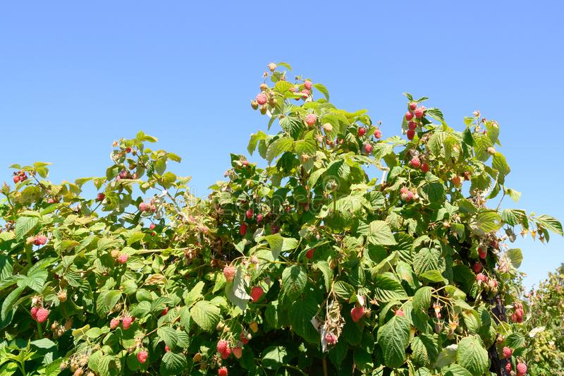 Frambozeninstallaties - rijpende frambozen op aanplanting in de zomer stock afbeelding