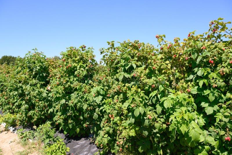 Frambozeninstallaties - rijpende frambozen op aanplanting in de zomer stock afbeeldingen