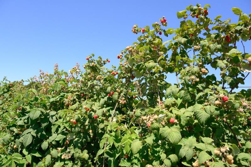 Frambozeninstallaties - rijpende frambozen op aanplanting in de zomer stock foto's