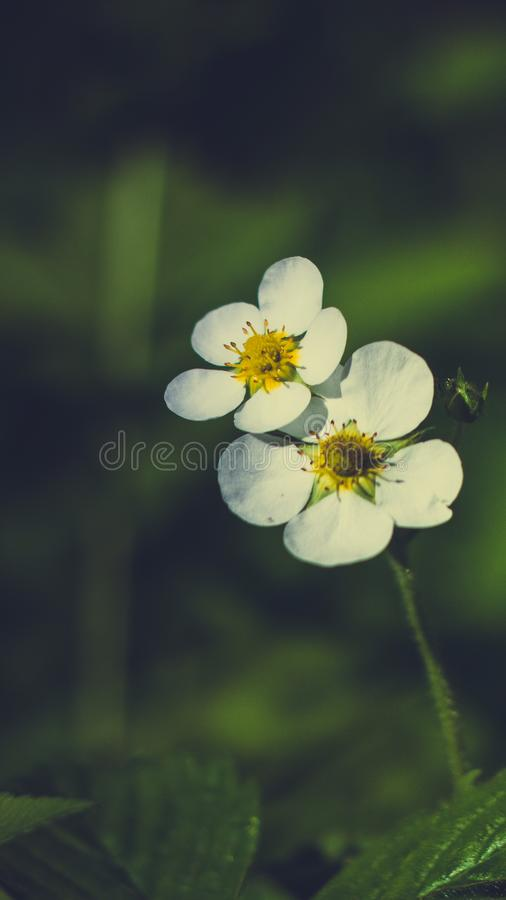 Frambuesa de la flor fotos de archivo