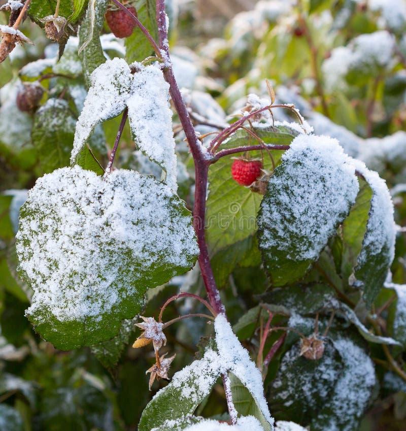 Frambuesa en nevadas tempranas Frambuesas cubiertas con sn fresco fotografía de archivo libre de regalías