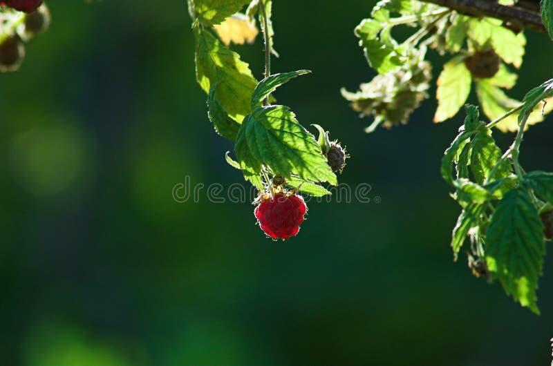 Frambuesa en un arbusto foto de archivo