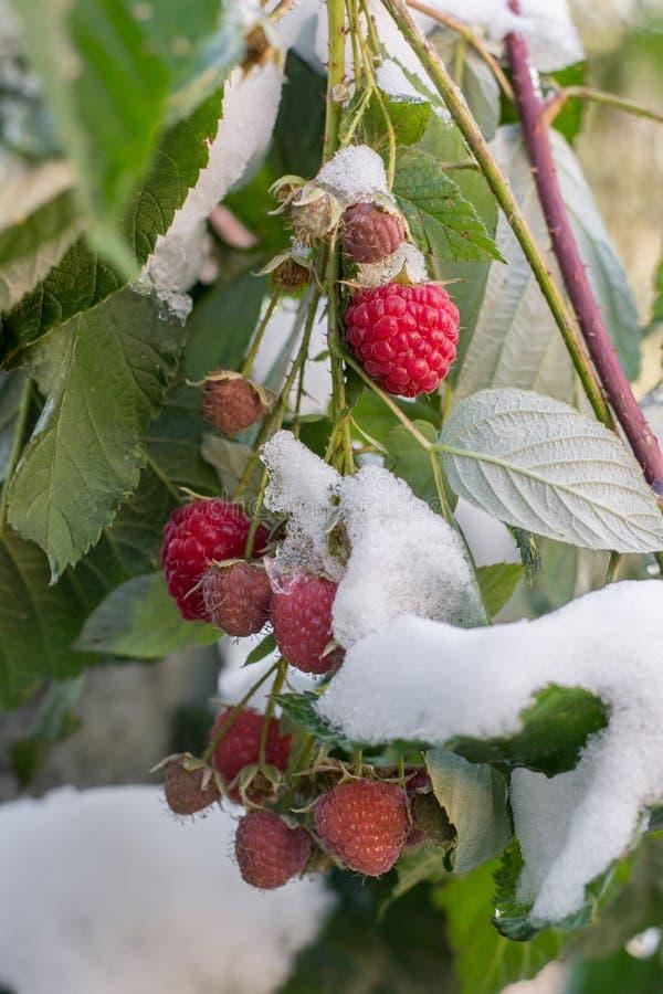 Frambuesa madura con las hojas más adelante en la nieve temprana imágenes de archivo libres de regalías
