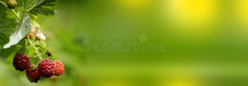 Frambuesa madura en la rama en el jardín Arbusto de frambuesa fresco Bayas rojas jugosas Comida deliciosa y sana foto de archivo libre de regalías