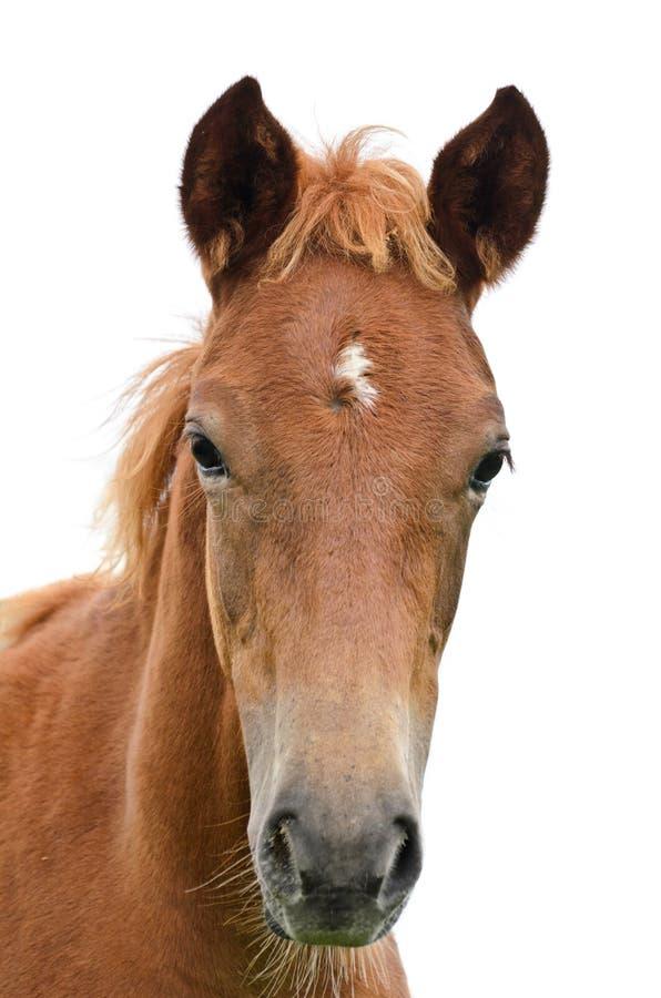 Framdel av hästhuvudet. royaltyfria foton