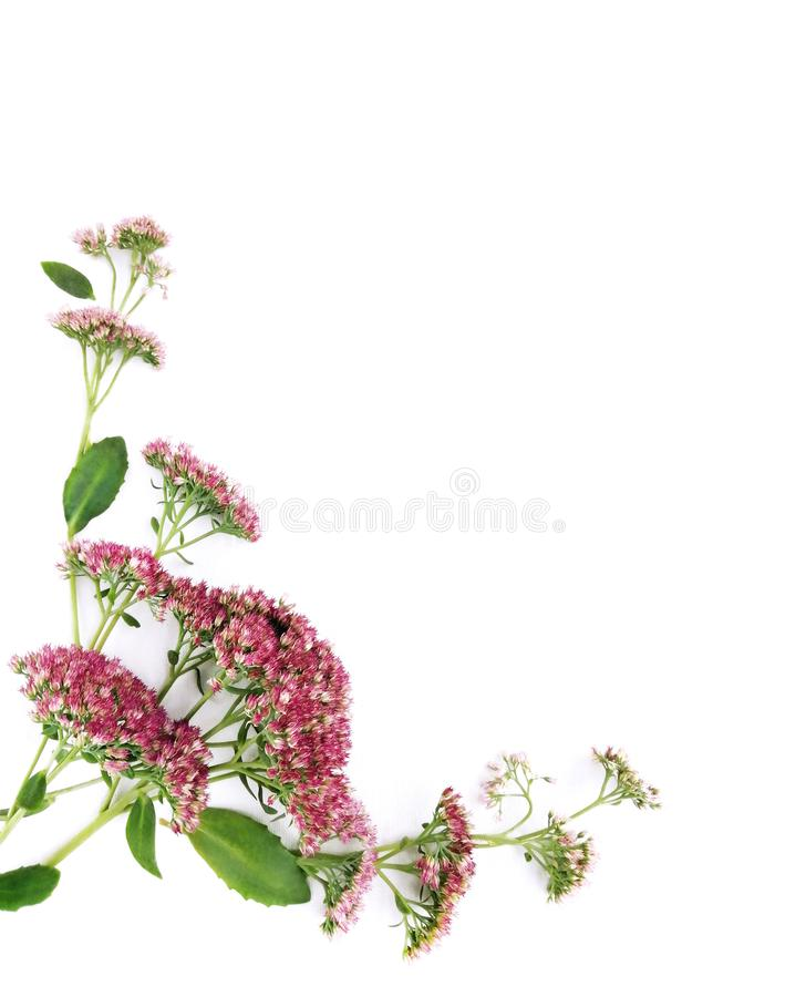 Frame of Autumn Wild Pink Sedum Flowers isolated on White Canvas Background, Real Shadow. Annual Herb, Floral Composition royalty free stock image