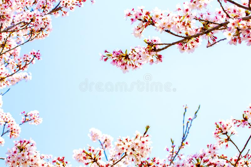 Frame of the beautiful pink cherry blossom in full bloom. space is beautiful blue sky royalty free stock images