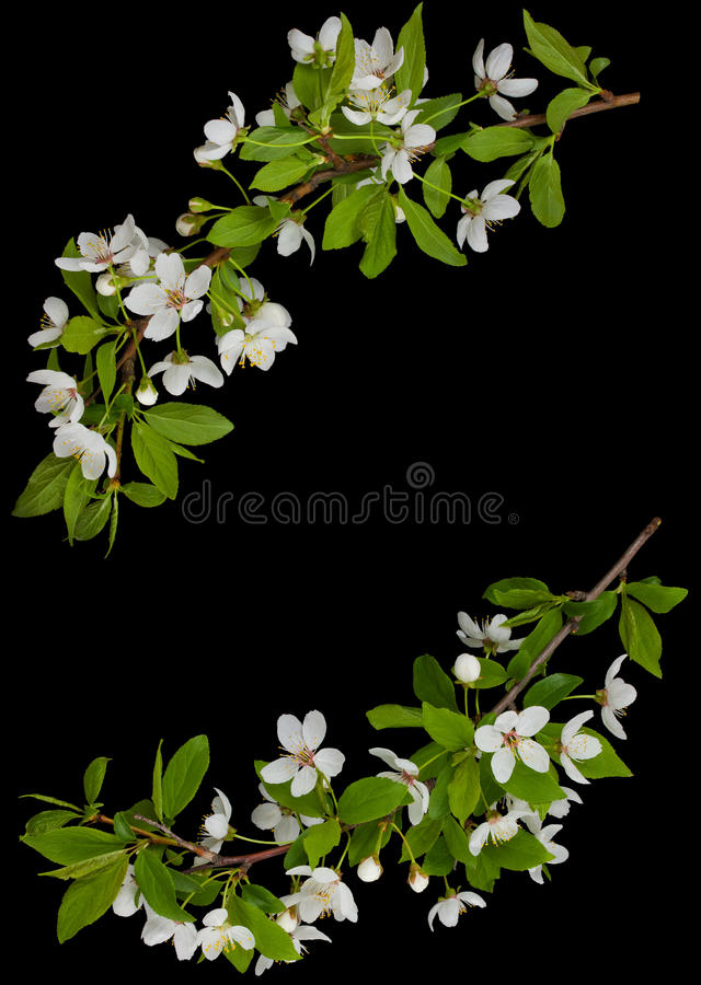Download Frame From Blooming Branches Of Plum Tree Stock Image - Image: 21926329