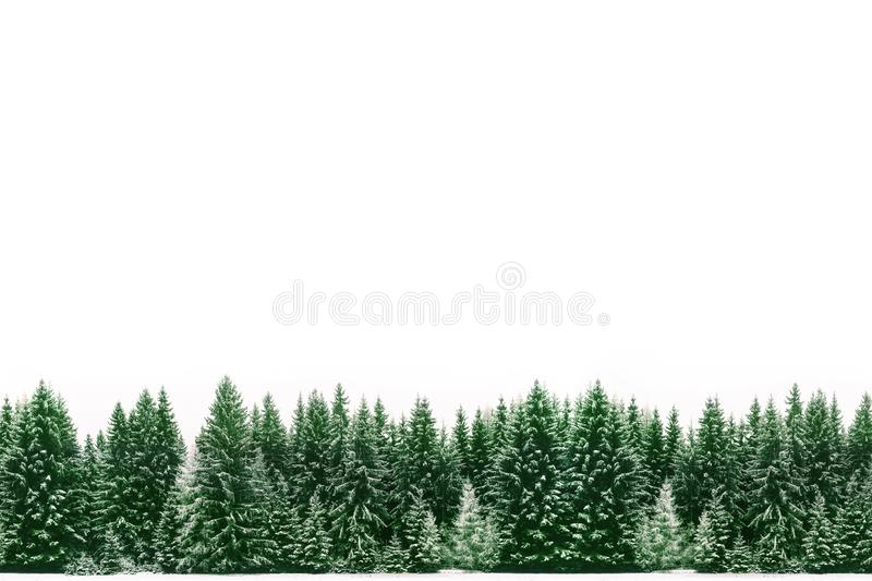 Pine trees forest of green spruces covered by fresh snow during Winter Christmas time as wide frame border background royalty free stock image