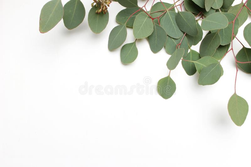 Frame, border made of green Silver dollar Eucalyptus cinerea leaves and branches on white background. Floral composition stock photos