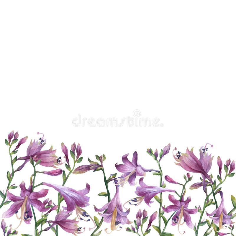The frame of the branches with purple hosta flower. Lilies. Hosta ventricosa minor, asparagaceae family. Hand drawn watercolor painting on white background stock image