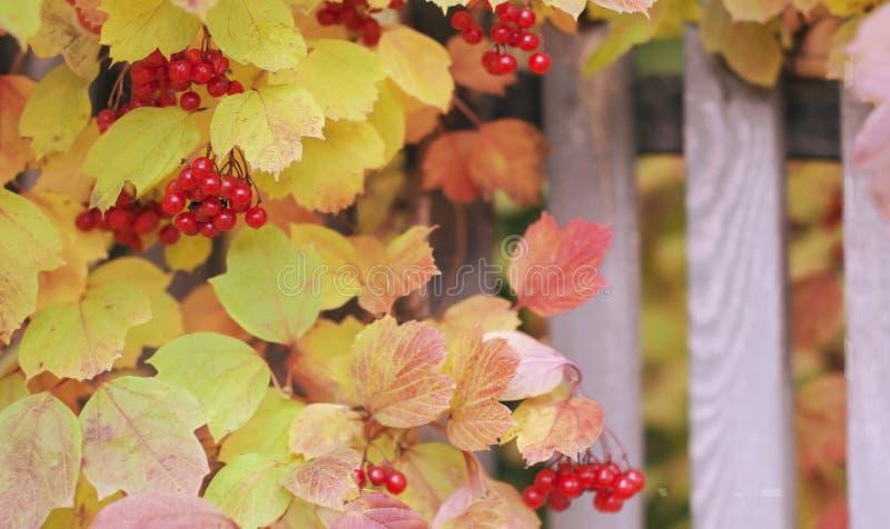 Frame  with bright branches of autumn viburnum on the street. Frame with bright branches of autumn viburnum on the street stock image