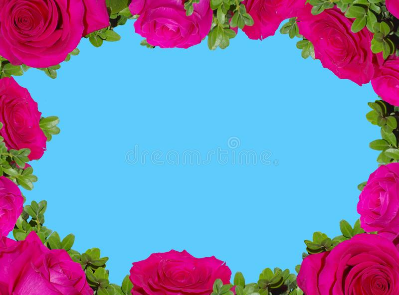 Frame of bright pink roses. On a blue background stock image