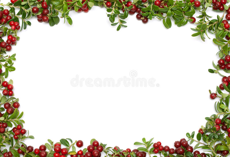 Frame from of the cowberry. Frame from sheet and fruit of the cowberry on white background stock photos