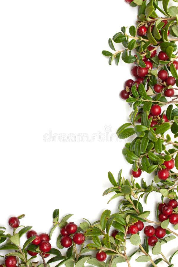 Frame from of the cowberry. Frame from sheet and fruit of the cowberry on white background royalty free stock photos