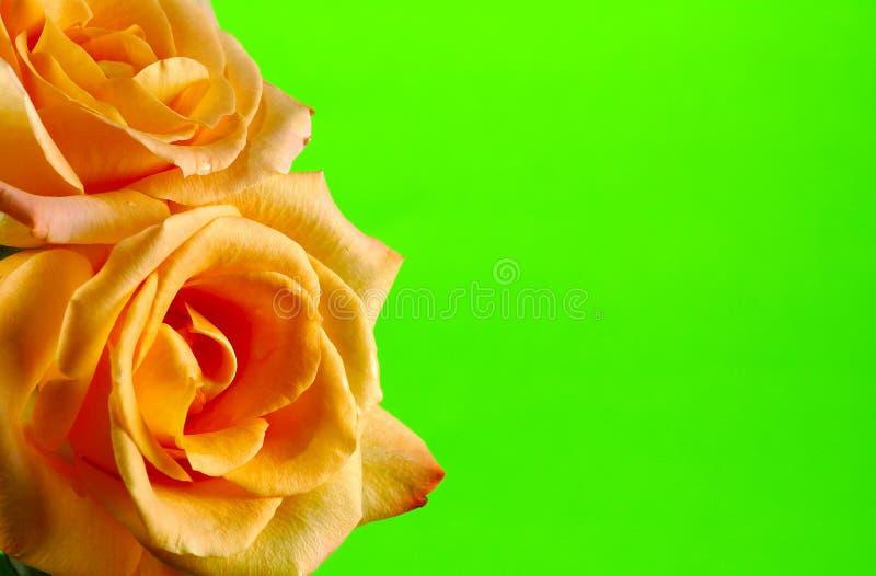 Frame de Rosa foto de stock