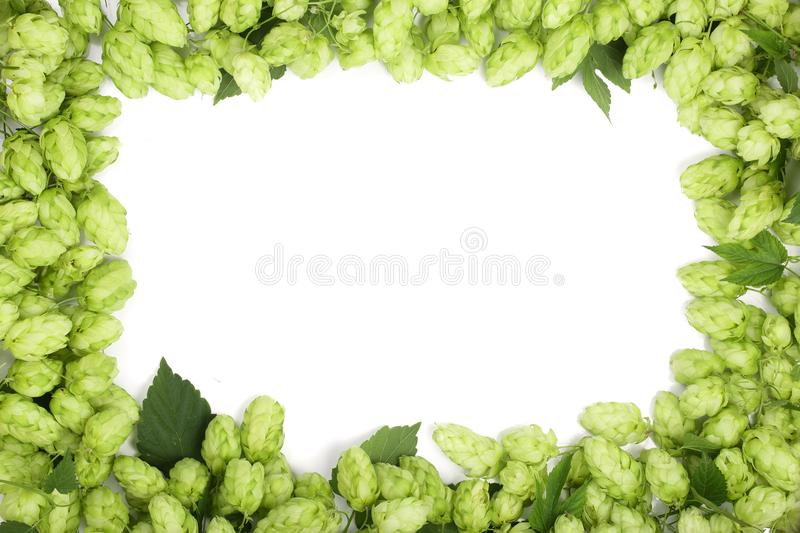 Frame of fresh green hop cones isolated on white background. Top view with copy space for your text stock images