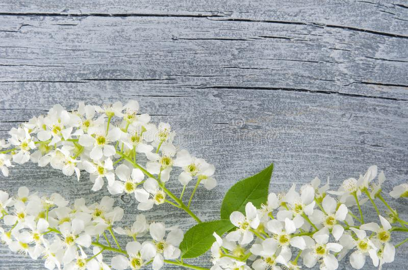 Frame of fresh white spring bird cherry flowers on retro rustic background. Copy space for text, old wooden table surface, flat. Lay,wooden old Board royalty free stock photo