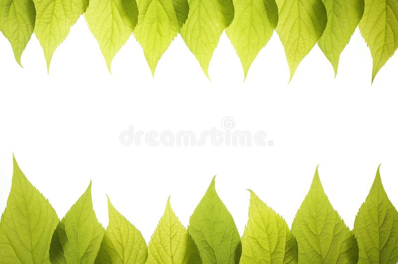 Frame from green leafs isolated on white background. stock photography
