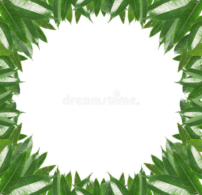 Frame of green mango leaves vector illustration