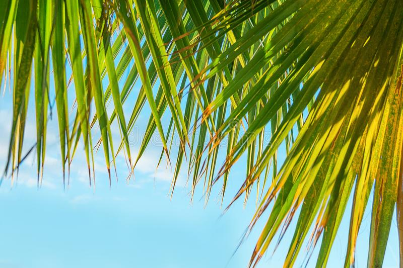 Frame from Hanging Large Round Spiky Palm Tree Leaves on Clear Blue Sky Background. Golden Sun Light. Tropical Vacation Traveling stock image