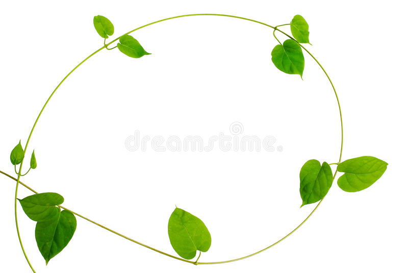 Frame of heart shaped green leaf vine on white background stock download frame of heart shaped green leaf vine on white background stock image image mightylinksfo